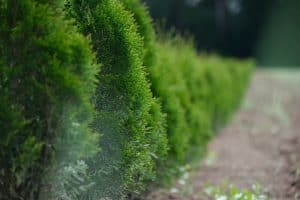 a hedge which has been trimmed best gas hedge trimmer