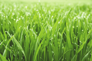 A lawn with the best grass for florida