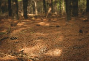 There are many composted pine needles in the forest